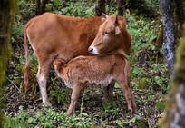 牧场的黄牛妈妈和吃奶的小黄牛