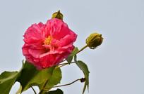 木芙蓉鲜花图片