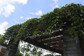 爬满藤蔓植物的廊架顶