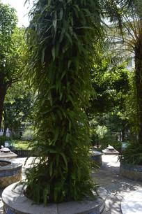 攀援附生于棕榈树的槲蕨