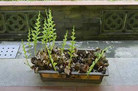 盆栽草药槲蕨