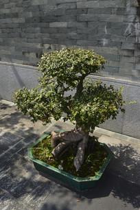 墙边盆栽黄杨树