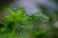 芹菜农作物