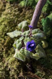 青苔上的非洲紫罗兰