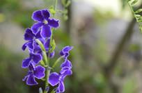 热带植物金露花