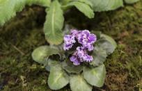 盛开的非洲紫罗兰