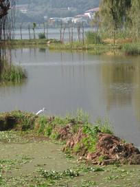 湿地里的白鹭