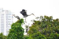 树顶上的大鹭鸟