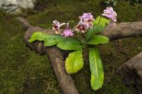 苣苔上的紫罗兰