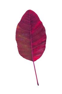 鲜艳的红叶