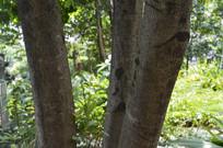 杨梅树的树干