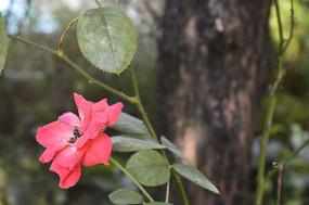 药用植物月季花