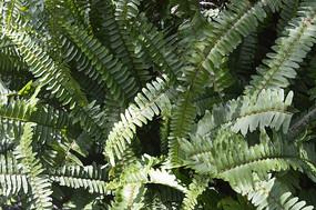 槲蕨叶图片