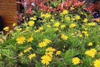 一丛黄金菊