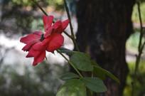 一朵红色的月季花