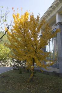 一棵泰国黄叶树