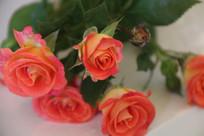 一枝红色的玫瑰