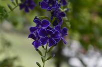 园林造景花卉金露花