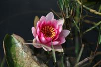 绽放的粉色睡莲