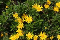 绽放的黄金菊