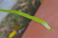 竹节蓼叶片特写图片
