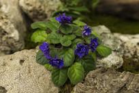 紫色的非洲紫罗兰