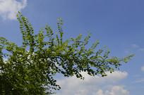 白饭树的树枝