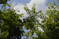 白饭树摄影图