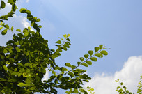 白饭树图片