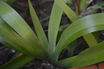 巴西鸢尾叶片