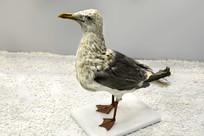 标本银欧鸟