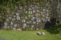 常绿油麻藤绿色植物墙