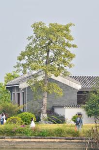 大屋古建筑树木风景
