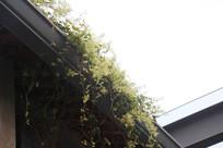 房顶上藤蔓
