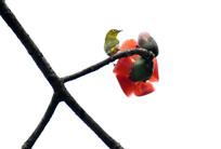 红棉绣眼鸟