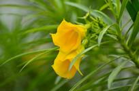 黄色喇叭花