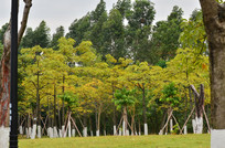 黄叶树林风景