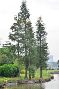 湖边的水杉树风景