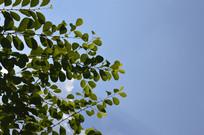 可入药植物白饭树