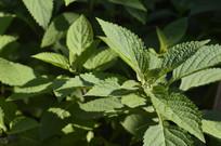 可入药植物溪黄草