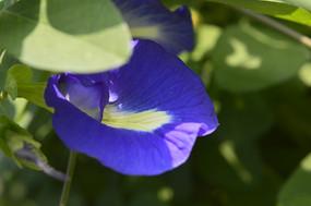 蓝色的蝶豆花