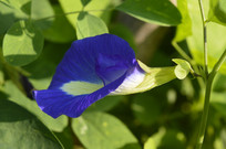 蓝色蝶豆花朵图片
