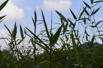 蓝天白云背景竹子图片
