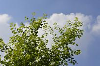 蓝天下的白饭树