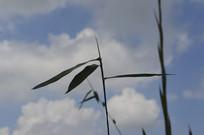 蓝天下的竹子剪影