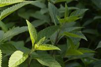 绿色溪黄草