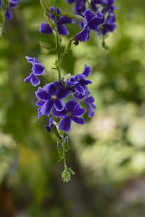 美丽的假连翘花朵