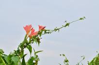 美人蕉花草