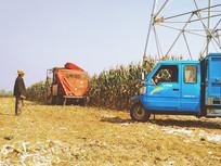 农民在田地里收获玉米