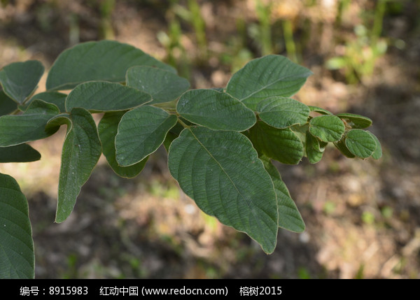 原创摄影图 动物植物 花卉花草 排钱树枝叶  请您分享: 红动网提供
